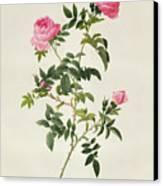 Rosa Sepium Flore Submultiplici Canvas Print by Pierre Joseph Redoute
