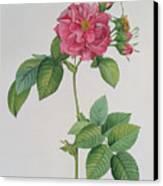 Rosa Turbinata Canvas Print by Pierre Joseph Redoute