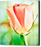 Rose In Window Canvas Print