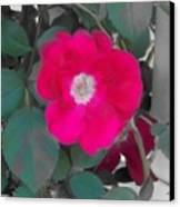 Rose On A Trellis Canvas Print