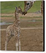 Rothschild Giraffe Giraffa Canvas Print