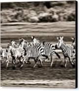 Running Zebras, Serengeti National Canvas Print by Carson Ganci