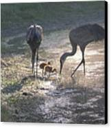 Sandhill Crane Family In Morning Sunshine Canvas Print by Carol Groenen