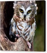 Saw-whet Owl Canvas Print by Wade Aiken