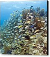 Schools Of Grunts, Snappers, Tangs Canvas Print by Karen Doody