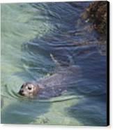 Sea Lion In Clear Blue Waters Canvas Print by Carol Groenen
