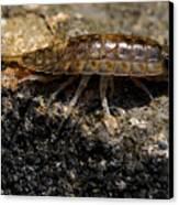 Isopod Canvas Print by April Wietrecki Green
