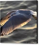 Seagull Flight Canvas Print by Dustin K Ryan
