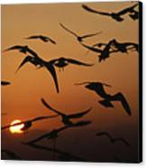 Seagulls In Sunset Canvas Print