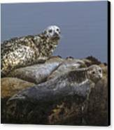 Seal Of Lover's Point Beach Canvas Print by Atul Daimari