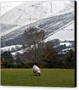Sheep Grazing Atthe Galtees  Ireland's Tallest Inland Mountains Canvas Print by Pierre Leclerc Photography