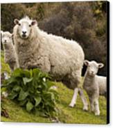 Sheep With Twin Lambs Stony Bay Canvas Print by Colin Monteath