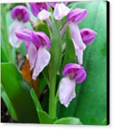 Showy Orchis Close Up Canvas Print