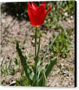 Single Tulip Canvas Print