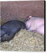 Sleeping Pigs In The Hay Canvas Print