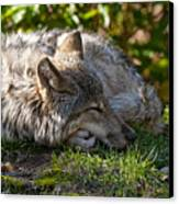 Sleeping Timber Wolf Canvas Print by Michael Cummings