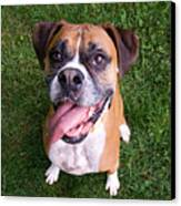 Smiling Boxer Dog Canvas Print