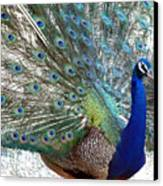 Snake Farm Peacock Canvas Print