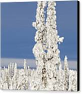 Snow Covered Spruce Trees Canvas Print by Tim Grams