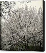 Snow White Flowering Tree Canvas Print