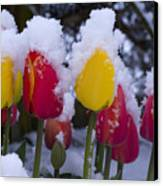Snowy Tulips Canvas Print