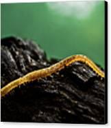 Soil Centipede Canvas Print