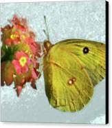Southern Dogface Butterfly Feasting On December Lantanas Austin V2 Canvas Print