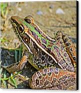 Southern Leopard Frog Canvas Print