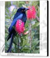 Spangled Drongo Canvas Print