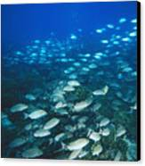 Spotted Grunt And Herring Fish Swimming Canvas Print by James Forte