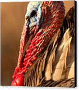 Spring Portrait Of Wild Turkey Tom Canvas Print