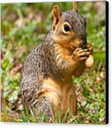 Squirrel Eating A Peanut Canvas Print by James Marvin Phelps