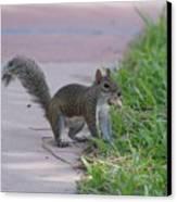 Squirrel Nuts Canvas Print