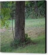 Squirrel On It Way Down From Looking For Walnuts Canvas Print