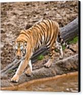 Stalking Tiger - Bengal Canvas Print