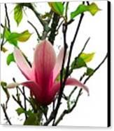 Star Magnolia Canvas Print