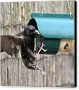 Starling On Bird Feeder Canvas Print