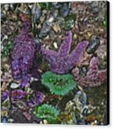 Stars And Anemones Canvas Print by Wilbur Young
