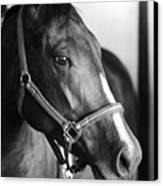 Horse And Stillness Canvas Print