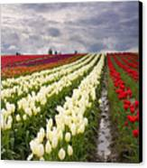 Storm Over Tulips Canvas Print by Mike  Dawson