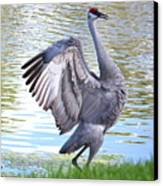 Strutting Sandhill Crane Canvas Print by Carol Groenen