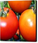 Succulent Tomatoes Canvas Print