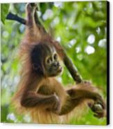 Sumatran Orangutan Pongo Abelii Baby Canvas Print by Suzi Eszterhas