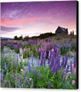 Summer Lupins At Sunrise At Lake Tekapo, Nz Canvas Print by Atan Chua