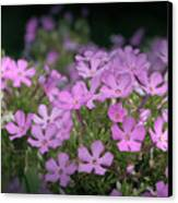 Summer Phlox Canvas Print