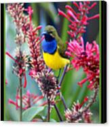 Sunbird Canvas Print by Holly Kempe