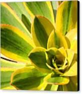 Sunburst Succulent Close-up 2 Canvas Print