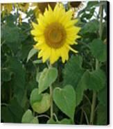 Sunflower Amungst Sunflower's Canvas Print