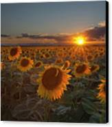 Sunflower Field - Colorado Canvas Print by Lightvision, LLC
