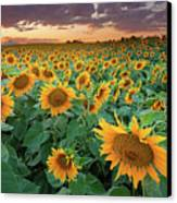 Sunflower Field In Longmont, Colorado Canvas Print